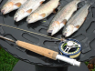 5 trout limit on fly rod